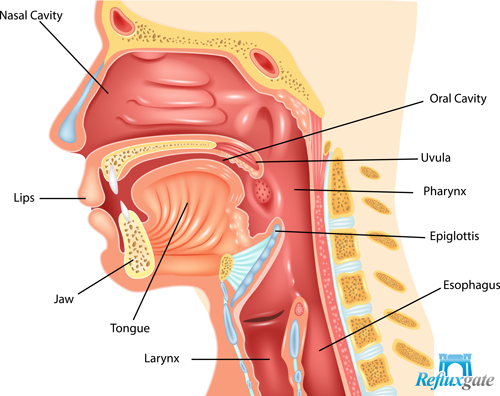 larynx is close to the esophagus